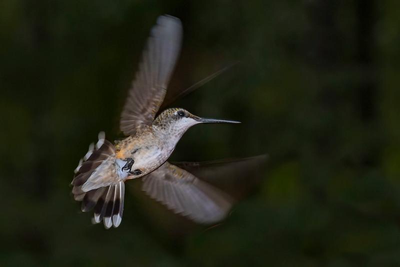 RubyThroatedHummingbird-DausetNatureCenter-JacksonGA-9-1-19-SJS-023