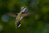 RubyThroatedHummingbird-DausetNatureCenter-JacksonGA-8-31-19-SJS-003