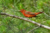 SummerTanager-OcalaNF-4-19-20-SJS-006