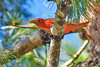 SummerTanager(male)-OcalaNF-7-22-19-SJS-001