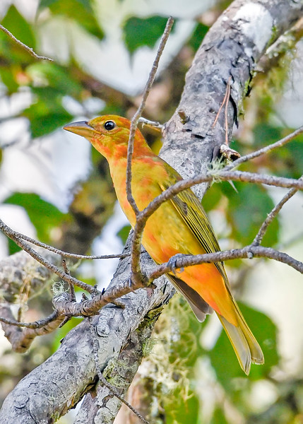 SummerTanager(immature)OcalaNF-9-16-18-SJS-004