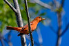 SummerTanager(male)-FortDeSoto-5-6-20-SJS-02