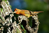 SummerTanager(immature)-OcalaNF-4-27-20-SJS-001