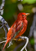 SummerTanager-FortDeSoto-4-20-19-SJS-003