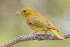 SummerTanager(female)-SawgrassIsland-5-15-20-SJS-07