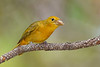 SummerTanager(female)-SawgrassIsland-5-15-20-SJS-06