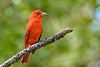 SummerTanager(male)-SawgrassIsland-5-16-20-SJS-02