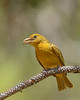 SummerTanager(female)-SawgrassIsland-5-15-20-SJS-04