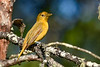 SummerTanager(female)-OcalaNF--4-28-20-SJS-003