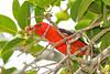 ScarletTanager(male)-FortDeSoto-5-6-20-SJS-10