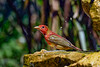 SummerTanager-FortDeSoto-4-22-19-SJS-012