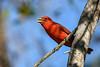 SummerTanager(male)-OcalaNF-5-5-20-SJS-07