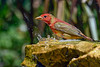 SummerTanager-FortDeSoto-4-22-19-SJS-013