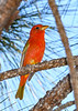 SummerTanager(male)-SawgrassIsland-4-27-20-SJS-005