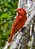 SummerTanager-FortDeSoto-4-18-19-SJS-015