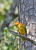 SummerTanager(immature)OcalaNF-9-16-18-SJS-001