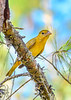SummerTanager(female)-OcalaNF-9-6-20-sjs-001