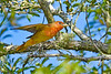 SummerTanager(immature)-OcalaNF-5-11-20-SJS-05