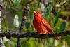 SummerTanager(male)-OcalaNF-5-5-20-SJS-11