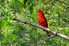 SummerTanager-OcalaNF-4-19-20-SJS-002