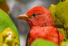 SummerTanager-FortDeSoto-4-20-19-SJS-001