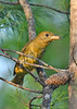 SummerTanager(female)-OcalaNF-8-4-20-sjs-003