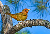 SummerTanager(immature)-OcalaNF-5-11-20-SJS-02