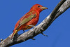 SummerTanager-FortDeSoto-4-18-19-SJS-014