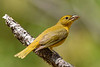 SummerTanager(female)-SawgrassIsland-5-15-20-SJS-03