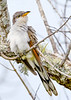 YellowBilledCuckoo-EmeraldaMarsh-11-5-19-SJS-006