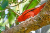 SummerTanager-FortDeSoto-4-18-19-SJS-004