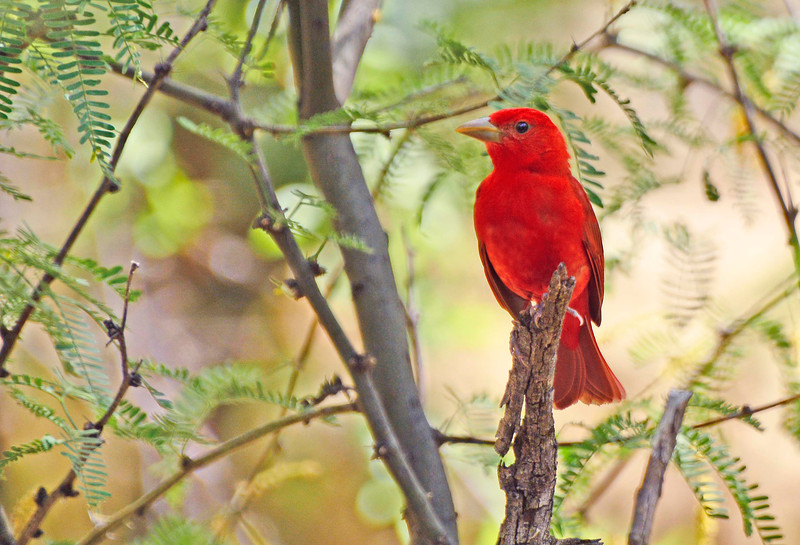 SummerTanager-AZ-2015-011
