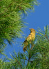 SummerTanager(female)-OcalaNF-8-6-2020-sjs-001