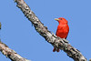 SummerTanager(male)-OcalaNF-5-13-20-SJS-02