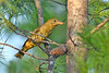 SummerTanager(female)-OcalaNF-8-4-20-sjs-004