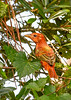 SummerTanager(immature)-SawgrassIsland-8-28-20-sjs-010