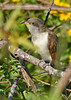 Yellow-BilledCuckoo-EmeraldaMarshFL-11-17-18-SJS-007