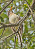 Yellow-BilledCuckoo-LakeYaleFL-10-18-18-SJS-006