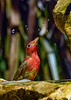 SummerTanager-FortDeSoto-4-22-19-SJS-009