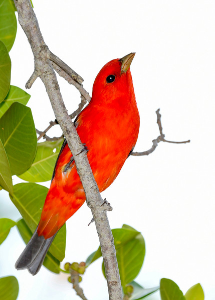 ScarletTanager(male)-FortDeSoto-5-6-20-SJS-17