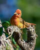 SummerTanager(immature)-OcalaNF-4-27-20-SJS-002