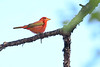 SummerTanager(male)-SawgrassIsland-4-27-20-SJS-002