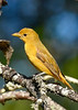 SummerTanager(female)-OcalaNF--4-28-20-SJS-002