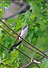 Yellow-billedCuckoo-MM-5-16-17-SJS-001