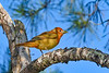 SummerTanager(immature)-OcalaNF-5-11-20-SJS-01
