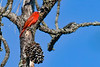 SummerTanager(male)-OcalaNF-5-11-20-SJS-03