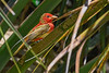SummerTanager-FortDeSoto-4-22-19-SJS-007