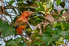 SummerTanager(immature)-SawgrassIsland-8-28-20-sjs-009