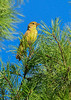 SummerTanager(female)-OcalaNF-8-6-2020-sjs-003