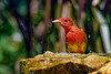 SummerTanager-FortDeSoto-4-22-19-SJS-011